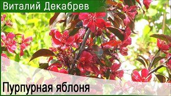 Яблоня Недзвецкого. Великолепный декоративный сорт.
