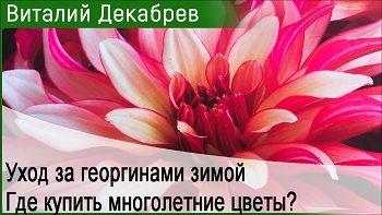 Уход за георгинами зимой. Где купить многолетние цветы?