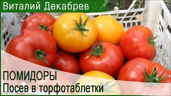 Как я сею помидоры в торфотаблетки?