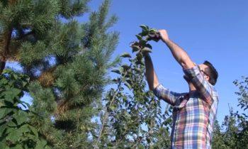 Как пересадить плодовое дерево?