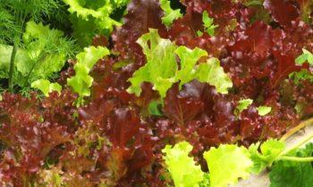 Как вырастить салат, чтобы его не съели вредители?