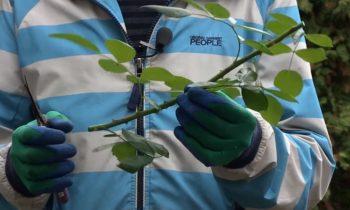 Как правильно провести обрезку и черенкование розы