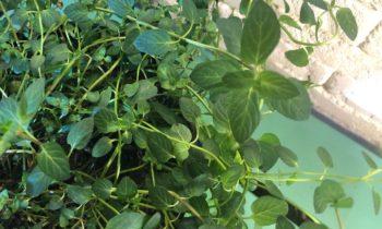 Выращивание мяты дома