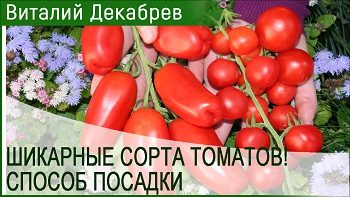 Шикарные сорта помидоров и способ посадки!