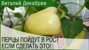 СДЕЛАЙТЕ ЭТО И ПЕРЦЫ ПОЙДУТ В РОСТ!!!