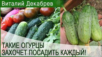 Супер огурцы-захочет выращивать каждый!