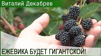 ЕЖЕВИКА БУДЕТ ГИГАНТСКОЙ С ТАКОЙ ПОДКОРМКОЙ!