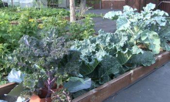 Как быстро подкормить капусту и защитить ее от вредителей?
