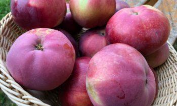 Любимый сорт колоновидной яблони