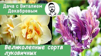 Великолепные сорта тюльпанов, нарциссов и рябчиков!