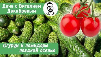 Как получать урожай помидоров и огурцов до поздней осени?