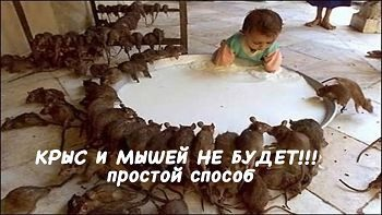 Крыс и мышей не будет! Простые способы избавиться от крыс и мышей.