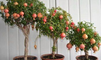 Плодовый сад на окне.