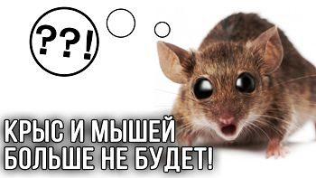 Мыши на даче. Как избавиться от крыс и мышей?