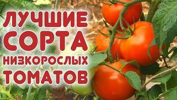 Лучшие томаты для открытого грунта. Помидоры для грядок.