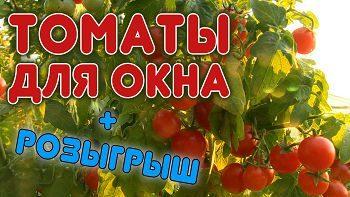 Супер томат для выращивания дома