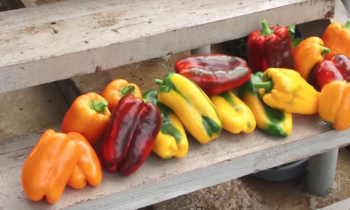 11 важных правил для выращивания сладкого перца