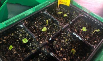 Выращивание редиса дома. Соревнование гибридов.