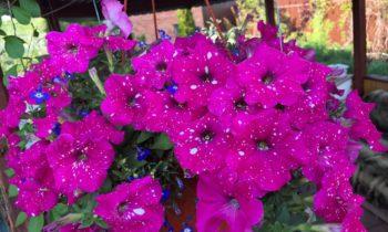 Розыгрыш обалденных семян петуний на моем канале Ютуб!
