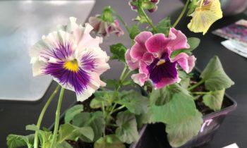 Как правильно посеять семена виолы?