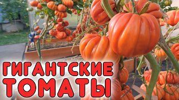 Гигантские томаты вас удивят!