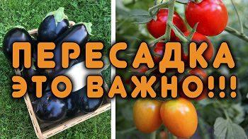 ПИКИРУЙТЕ ПРАВИЛЬНО! Секреты пересадки томатов и баклажанов