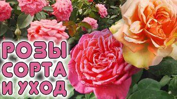 Розы. Сорта. Уход. Черенкование