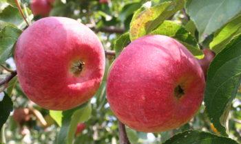 8 сортов яблонь, которые стоит посадить