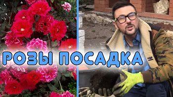 Как посадить розу? Секретный ингредиент при посадке